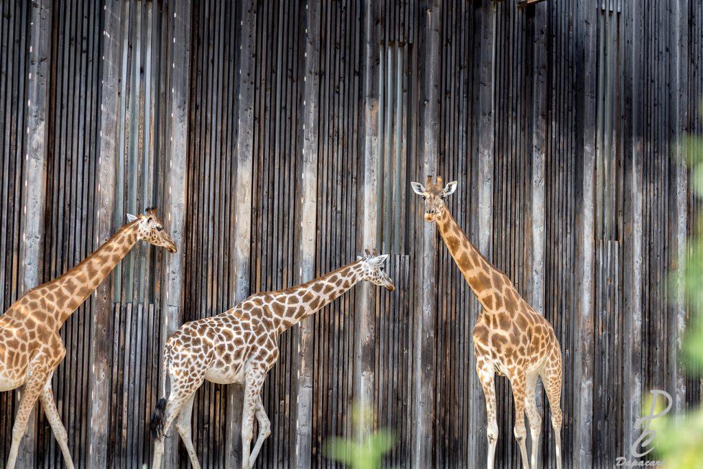 quelle focale pour photographier les animaux photo des girafes du parc de la tête d'or