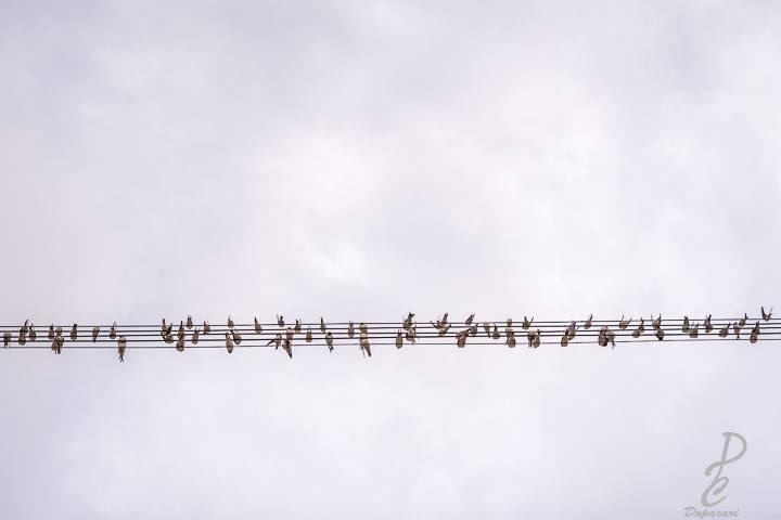 plan seulement sur les oiseaux sur les câbles électrique comme une partition musicale